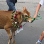 Strolling Heifers in Brattleboro