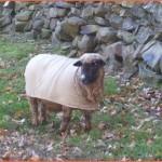 Westmoreland sheep farm