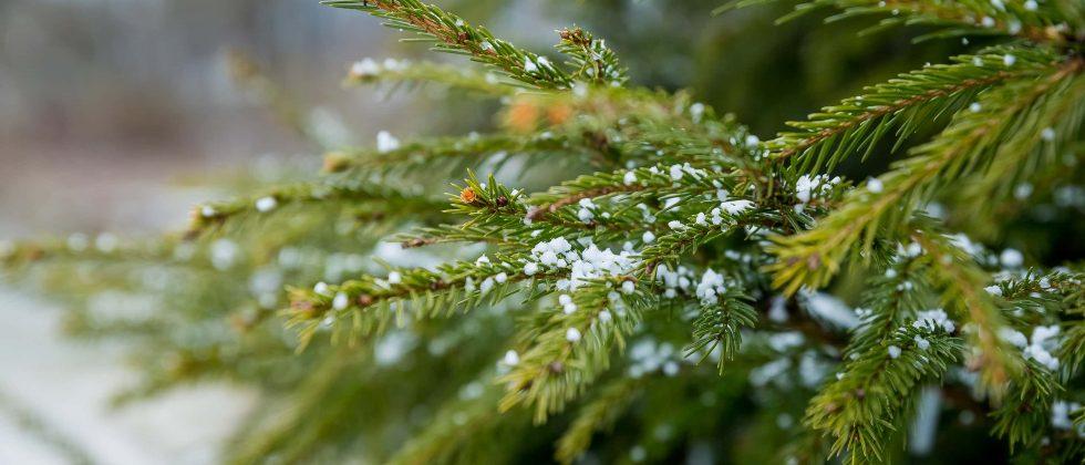snow on a tree at a Christmas tree farm