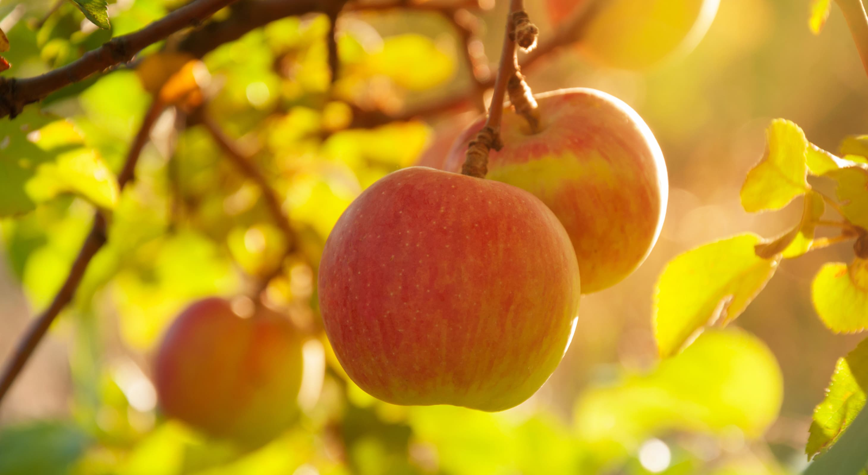 apples in a tree at an orchard