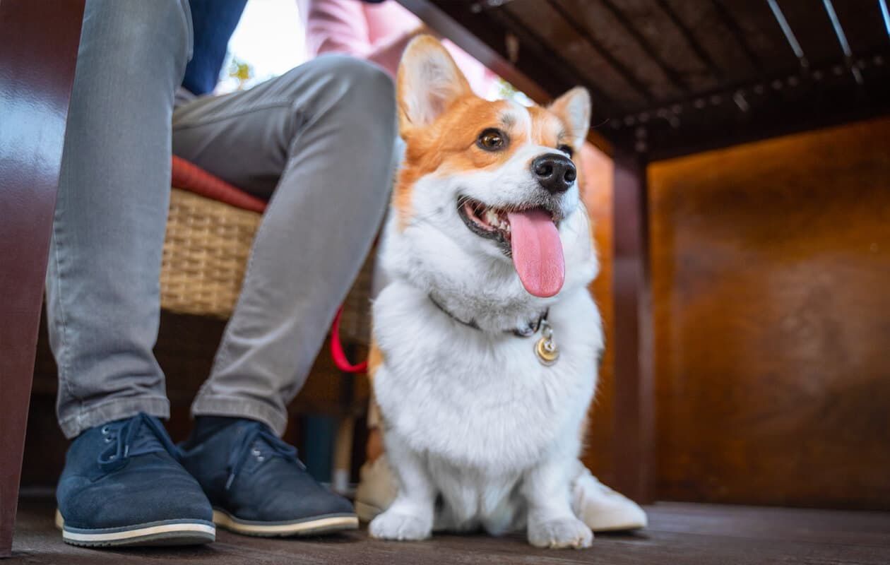 Corgi dog under restaurant table